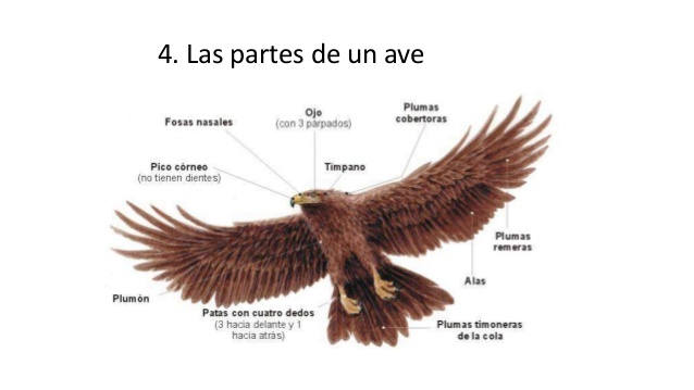 Características de las Aves – parte 2