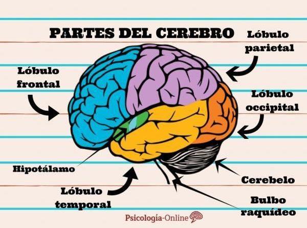 Anatomía del sistema nervioso humano 2